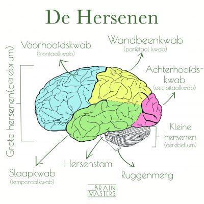 hersenen - functie hersenschors, hersenstam, grote hersenen, kleine hersenen